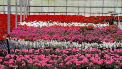 Colorful_Gerraniums.jpg