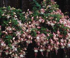 Fuchsia1.jpg