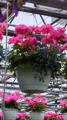 Geranium-and-lobelia.jpg